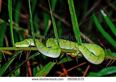 White-lipped Pit Viper clipart #6, Download drawings