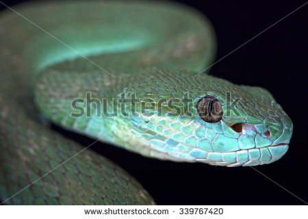 White-lipped Pit Viper clipart #7, Download drawings