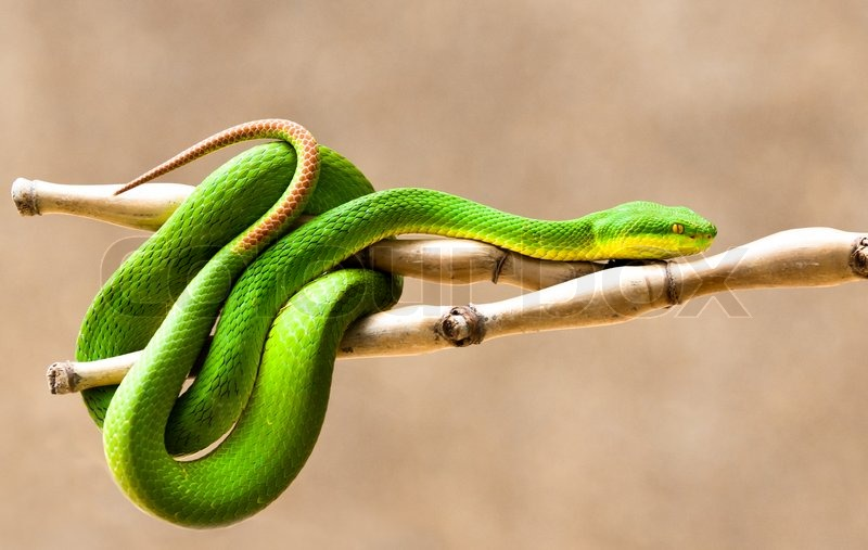 White-lipped Pit Viper clipart #1, Download drawings