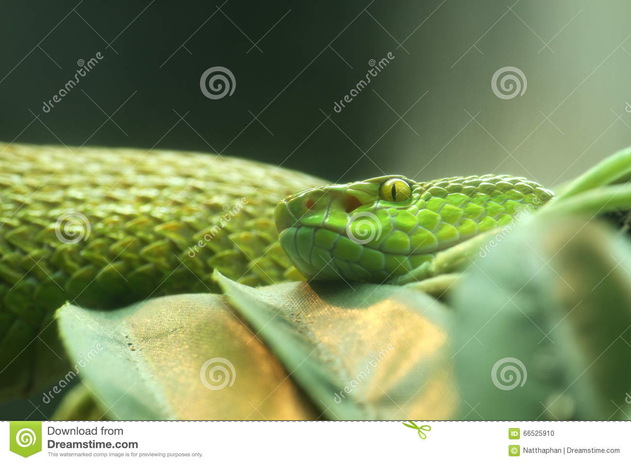 White-lipped Pit Viper clipart #9, Download drawings