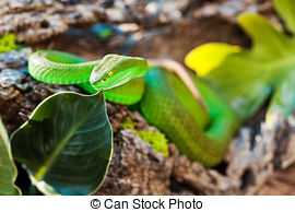 White-lipped Pit Viper clipart #5, Download drawings