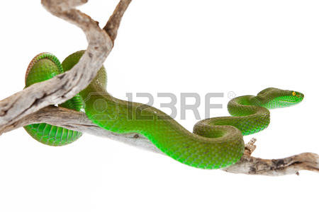 Green Pit Viper coloring #4, Download drawings