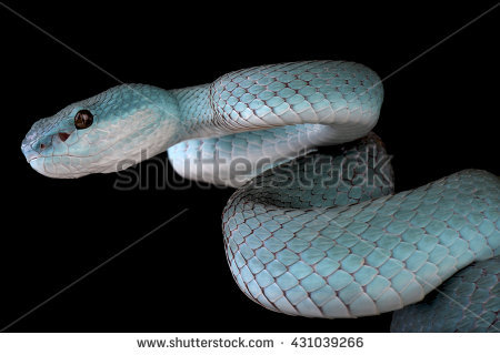 White-lipped Pit Viper clipart #4, Download drawings