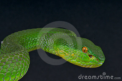 White-lipped Pit Viper clipart #19, Download drawings