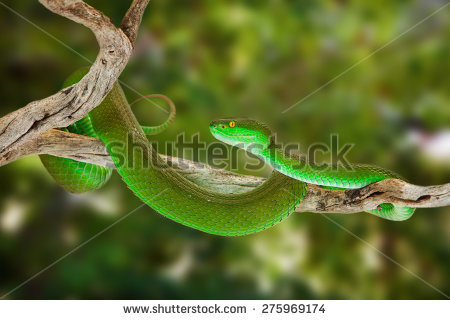 White-lipped Pit Viper clipart #17, Download drawings