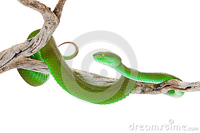 White-lipped Pit Viper clipart #15, Download drawings