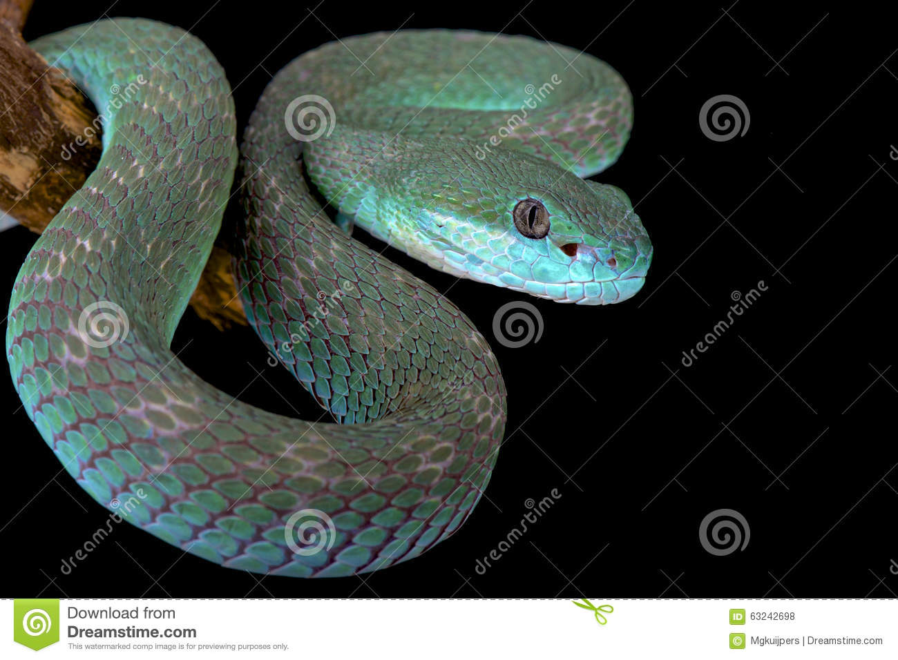 White-lipped Pit Viper clipart #14, Download drawings