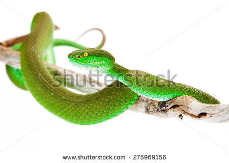 White-lipped Pit Viper clipart #12, Download drawings