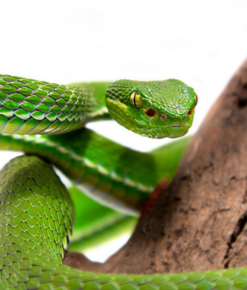 White-lipped Pit Viper clipart #11, Download drawings
