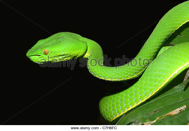 White-lipped Pit Viper svg #19, Download drawings