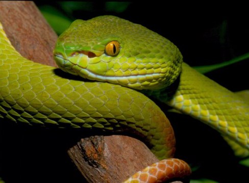White-lipped Pit Viper svg #14, Download drawings
