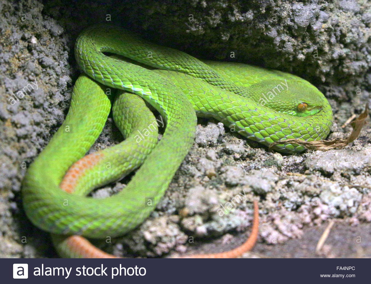 White-lipped Pit Viper svg #11, Download drawings