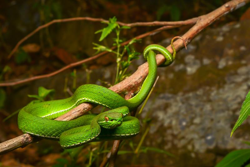 White-lipped Pit Viper svg #4, Download drawings