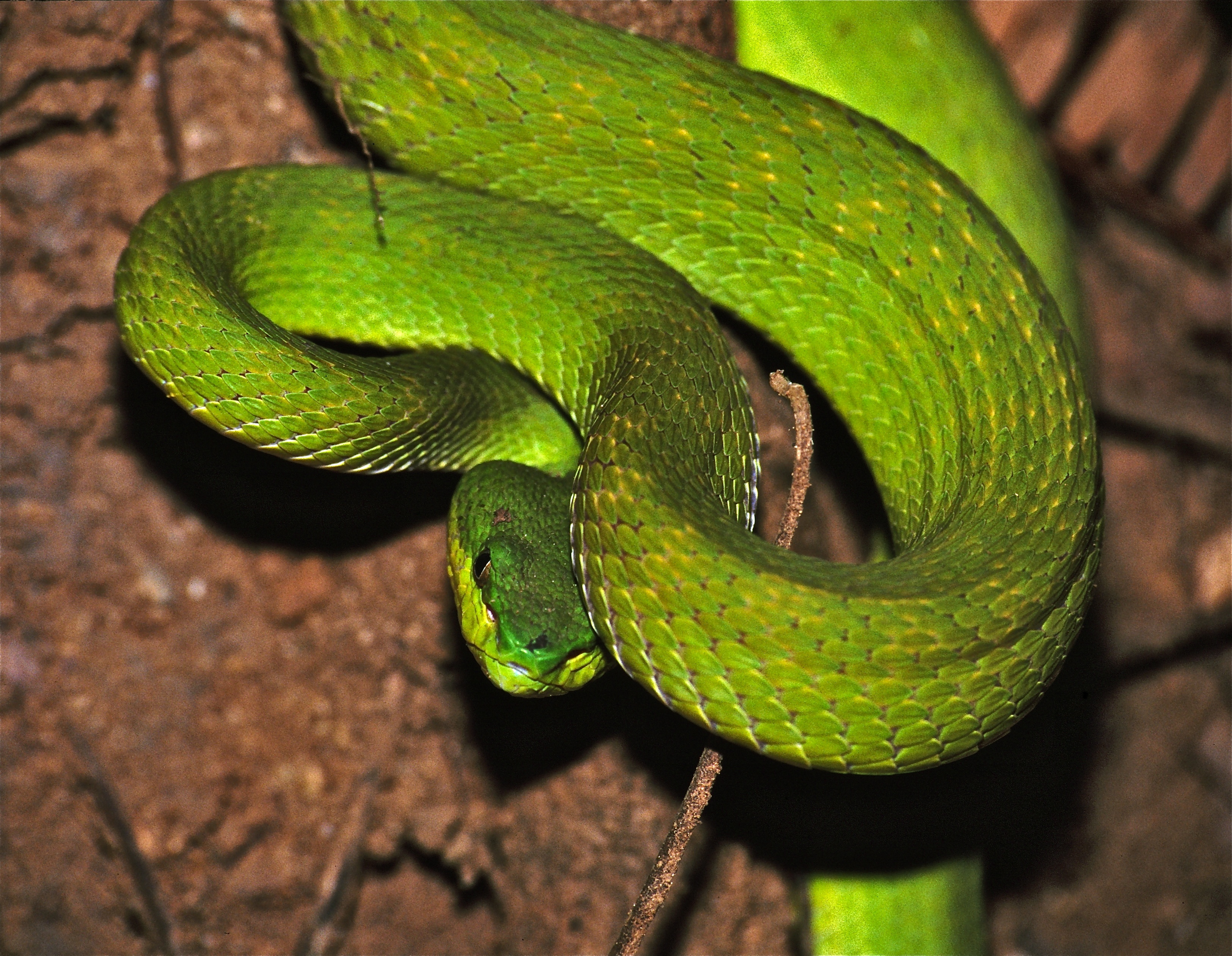 White-lipped Pit Viper svg #9, Download drawings