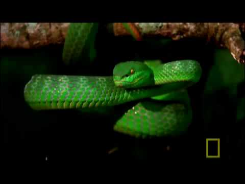 White-lipped Pit Viper svg #15, Download drawings