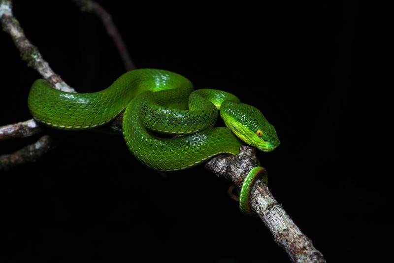 White-lipped Pit Viper svg #5, Download drawings