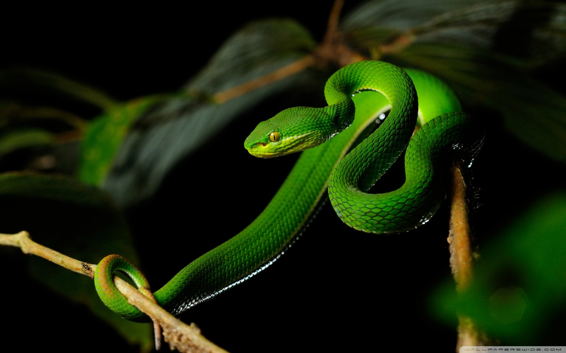 White-lipped Pit Viper svg #10, Download drawings
