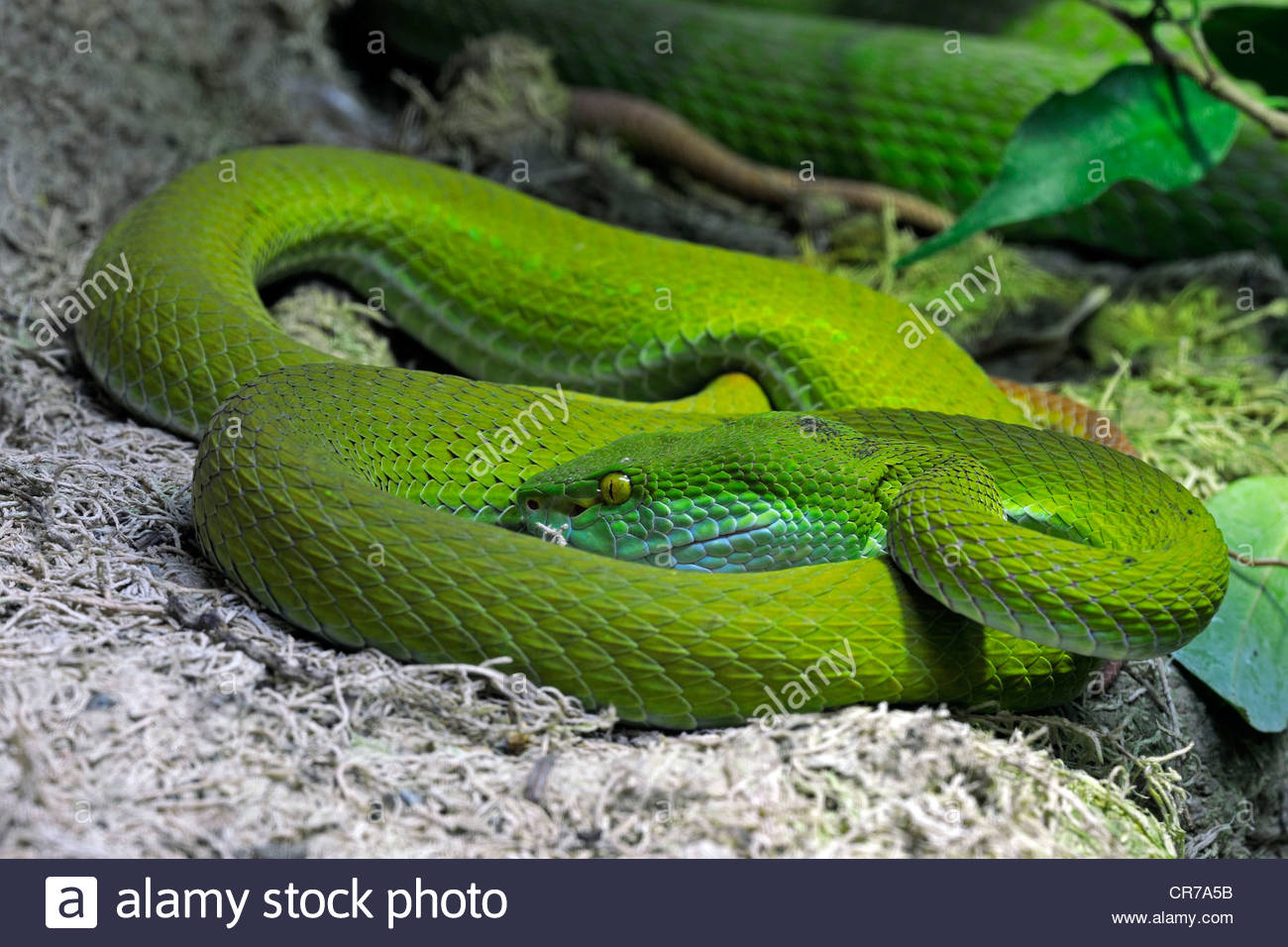 White-lipped Pit Viper svg #17, Download drawings