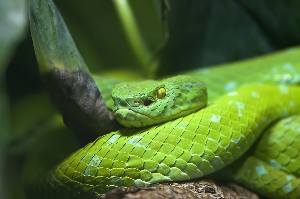 White-lipped Pit Viper svg #16, Download drawings