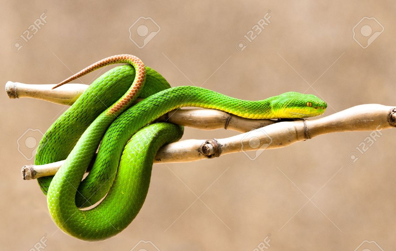 White-lipped Pit Viper svg #18, Download drawings