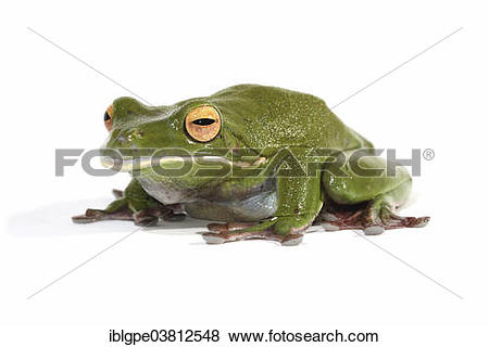 White-lipped Tree Frog clipart #1, Download drawings