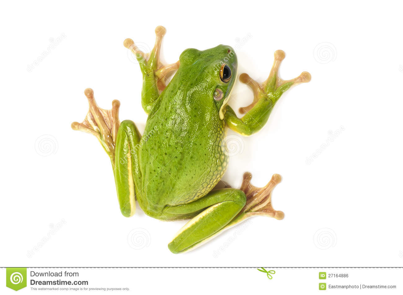 White-lipped Tree Frog clipart #7, Download drawings