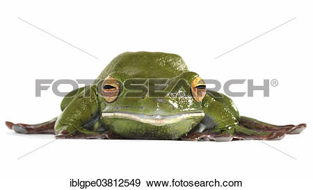 White-lipped Tree Frog clipart #3, Download drawings
