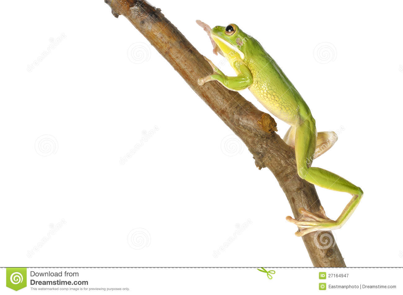 White-lipped Tree Frog clipart #18, Download drawings