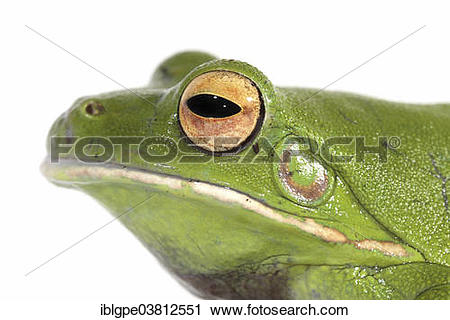 White-lipped Tree Frog clipart #4, Download drawings