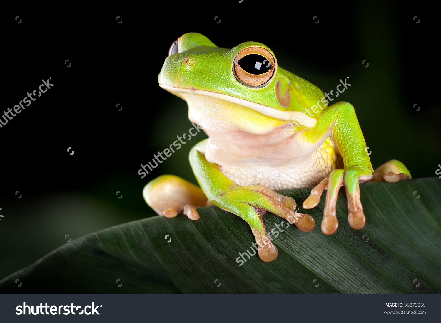 White-lipped Tree Frog clipart #11, Download drawings