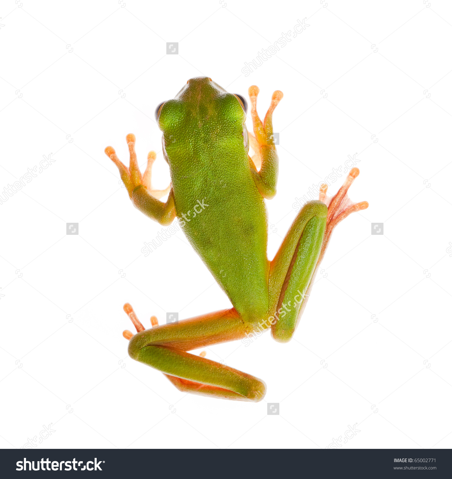 White-lipped Tree Frog clipart #19, Download drawings