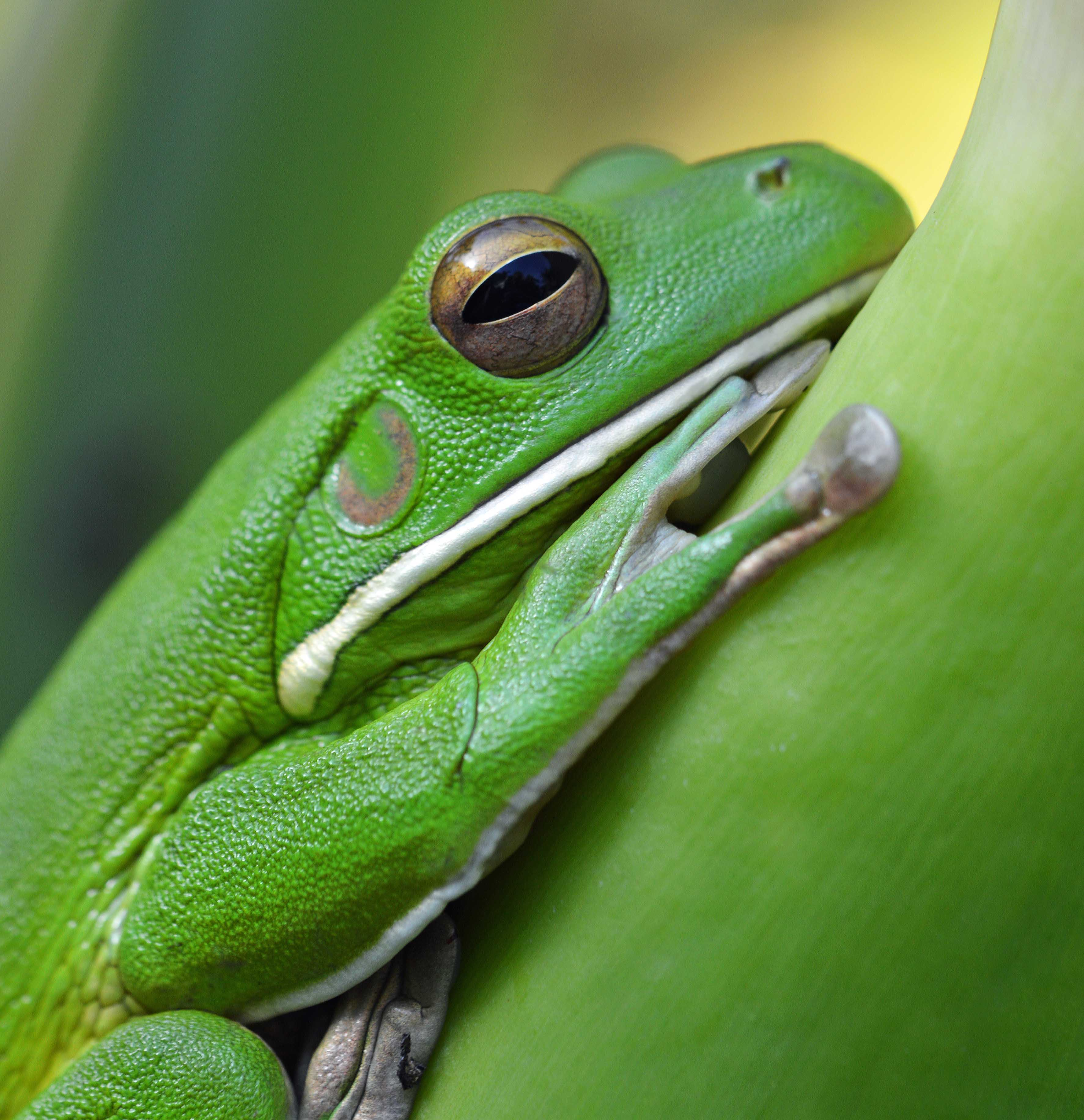 White-lipped Tree Frog svg #6, Download drawings