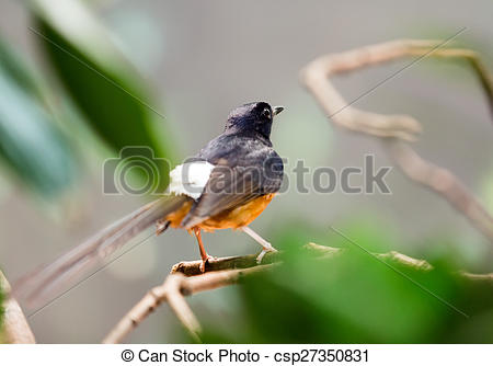 White-rumped Shama clipart #12, Download drawings