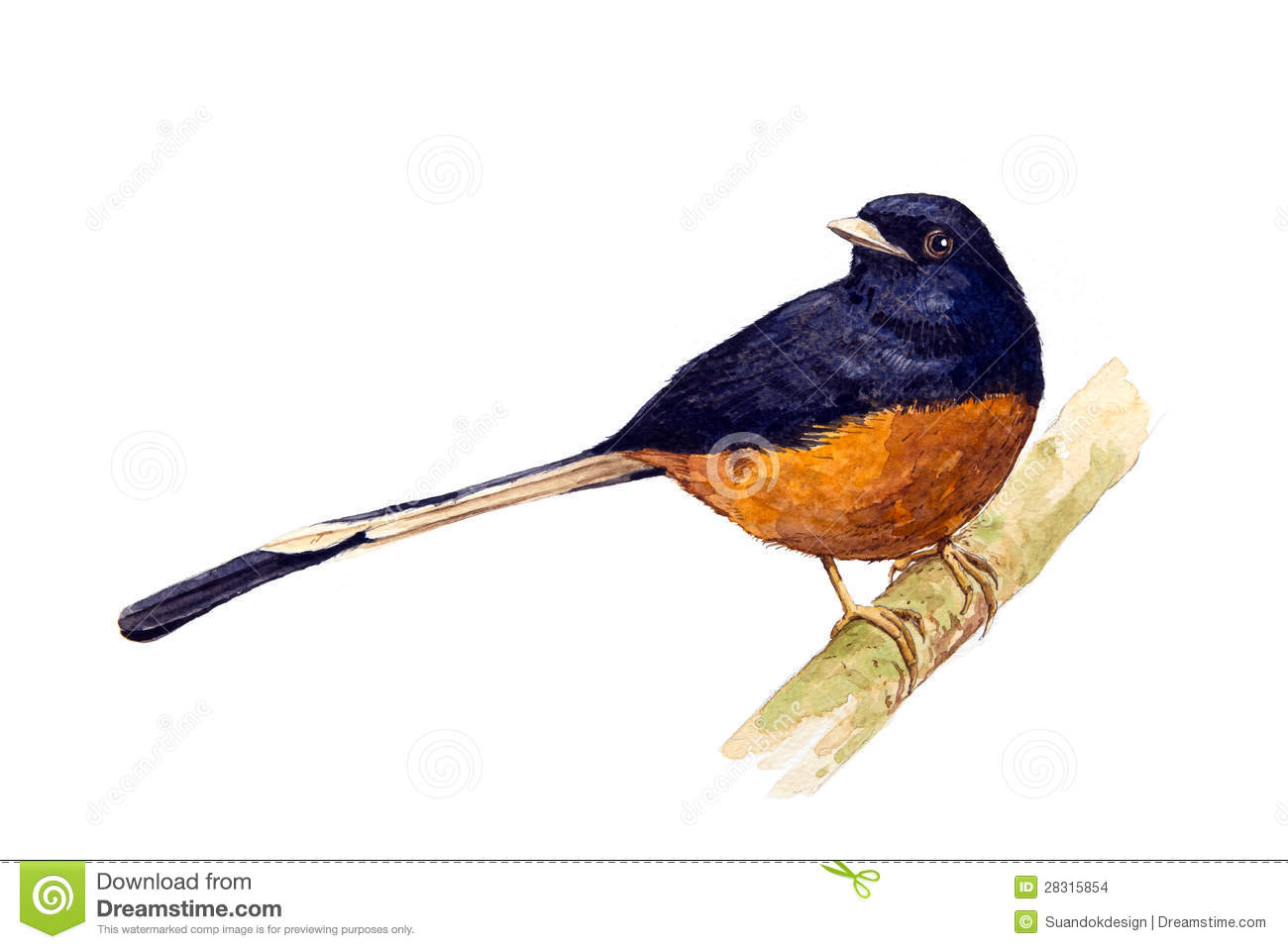 White-rumped Shama clipart #11, Download drawings