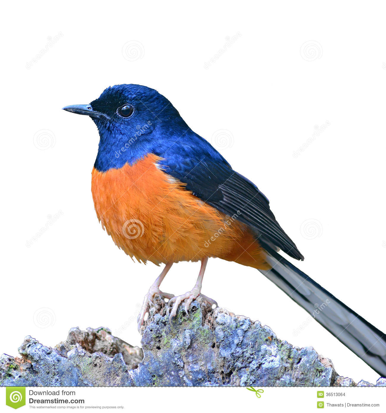 White-rumped Shama clipart #10, Download drawings