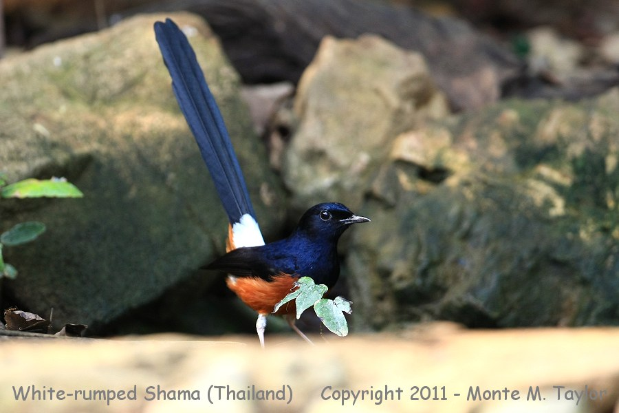 White-rumped Shama clipart #9, Download drawings