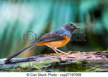 White-rumped Shama clipart #8, Download drawings