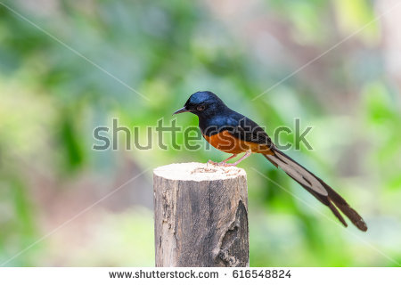 White-rumped Shama clipart #3, Download drawings