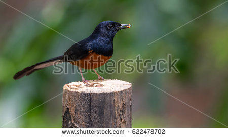 White-rumped Shama clipart #1, Download drawings