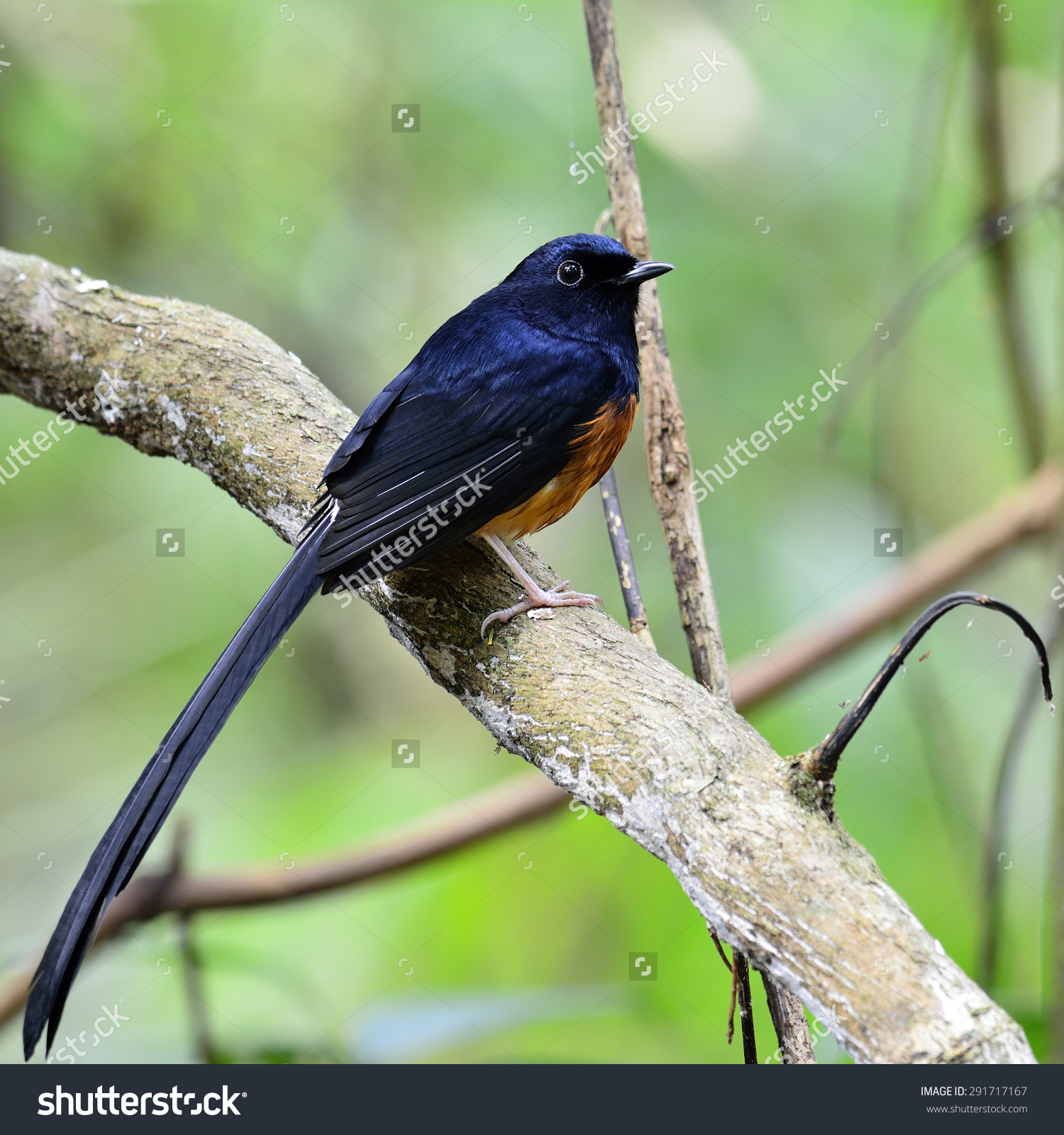 White-rumped Shama clipart #5, Download drawings