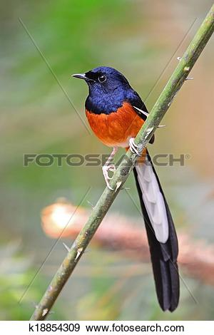 White-rumped Shama clipart #19, Download drawings