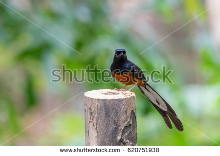 White-rumped Shama clipart #4, Download drawings