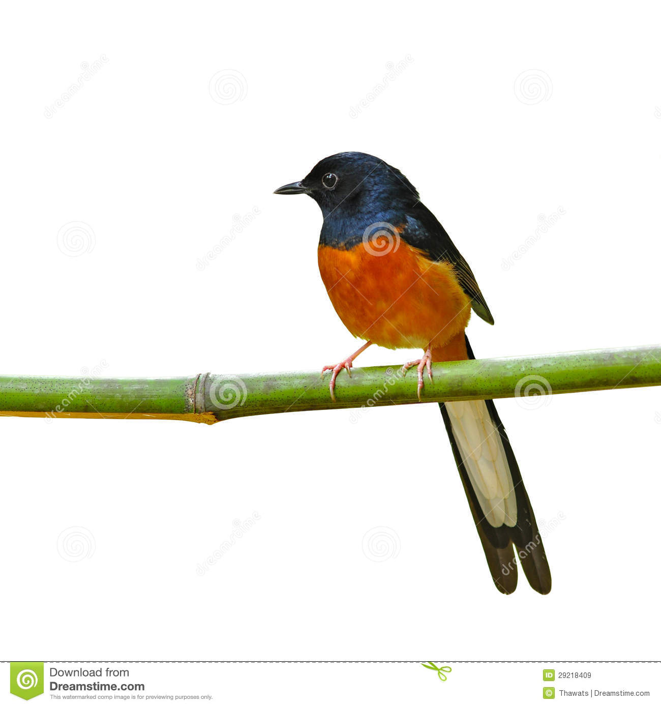 White-rumped Shama clipart #15, Download drawings