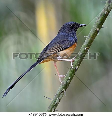 White-rumped Shama clipart #16, Download drawings