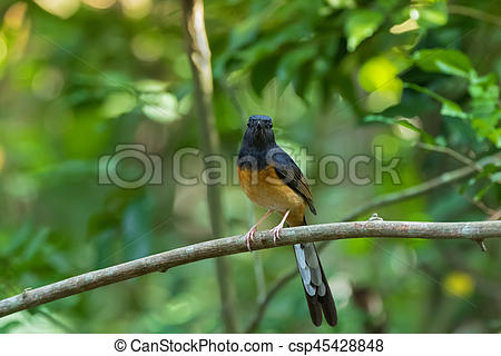 White-rumped Shama clipart #17, Download drawings