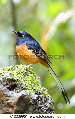 White-rumped Shama clipart #13, Download drawings