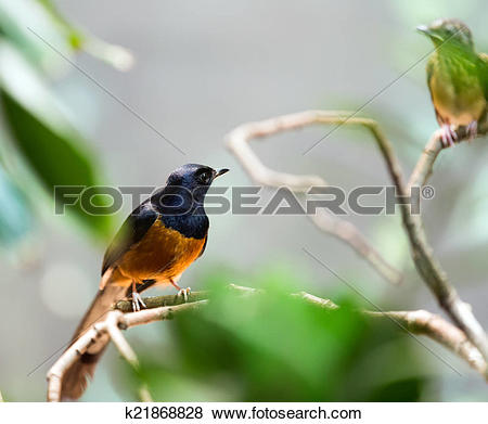 White-rumped Shama clipart #18, Download drawings