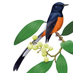 White-rumped Shama clipart #6, Download drawings