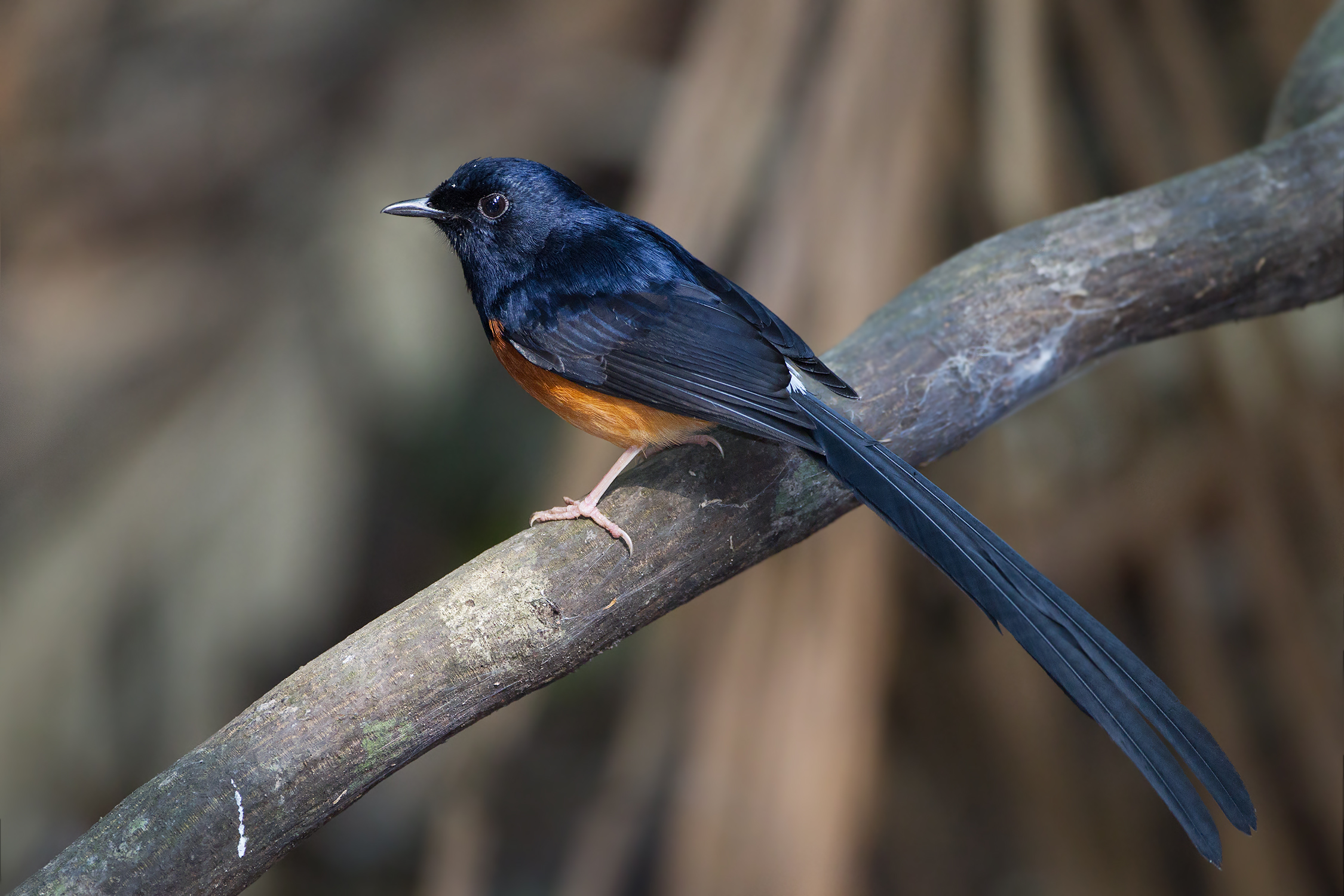 White-rumped Shama svg #20, Download drawings