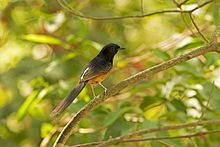White-rumped Shama svg #13, Download drawings